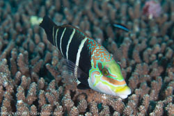 BD-130714-Maldives-0635-Hemigymnus-fasciatus-(Bloch.-1792)-[Barred-thicklip].jpg